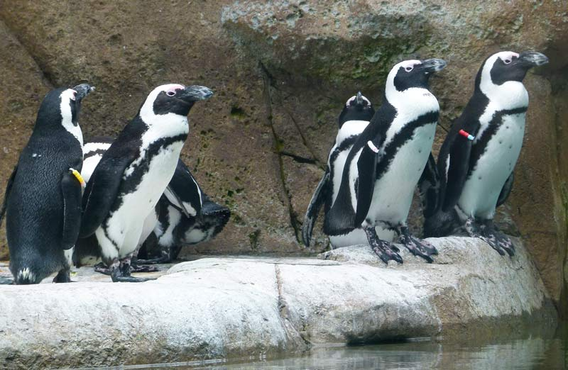 african penguin look