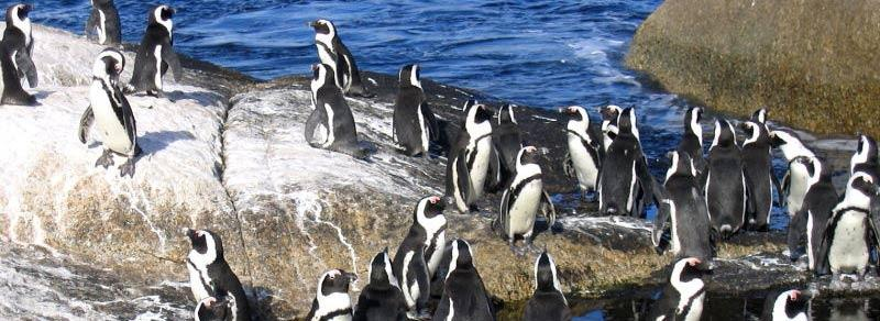 african penguin colony cape peninsular south africa