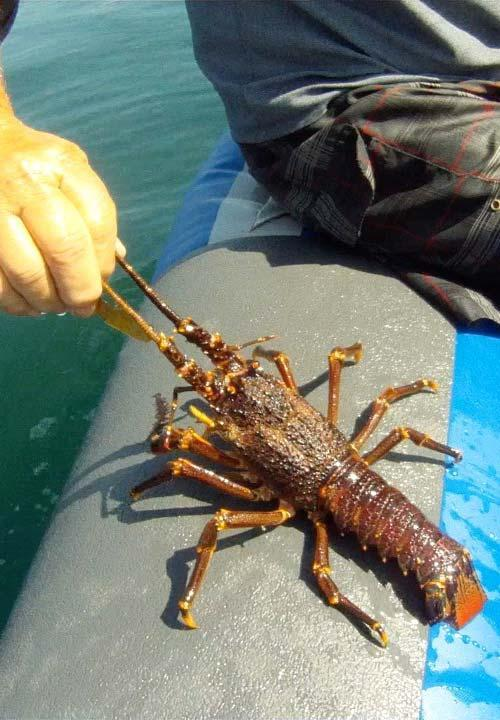 kreef crayfish catching side3