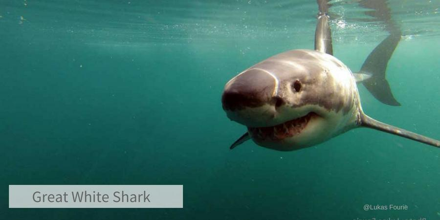 Shark Week Great White Shark