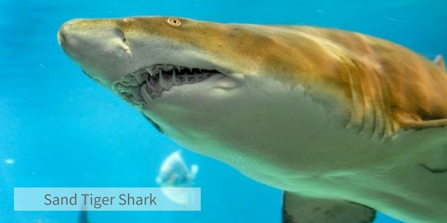 Sharkweek Tiger Shark