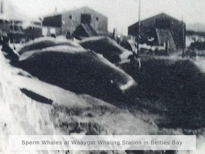 Sperm whales in Bettiesbay