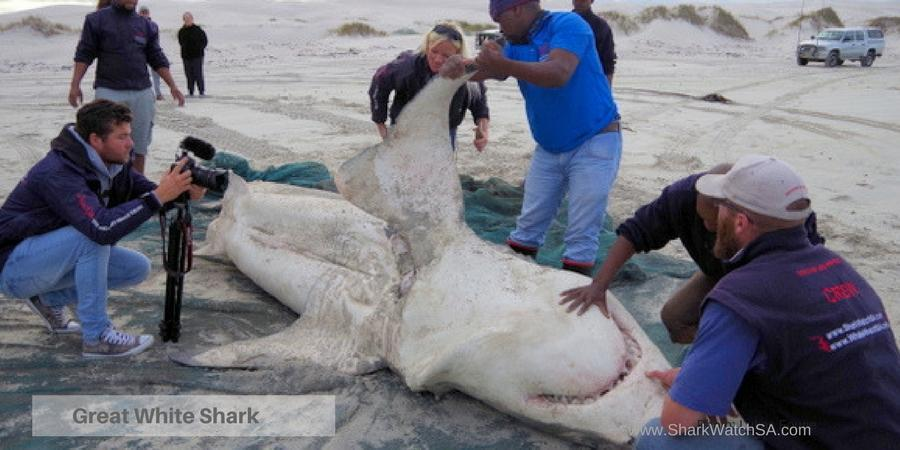 white shark disect