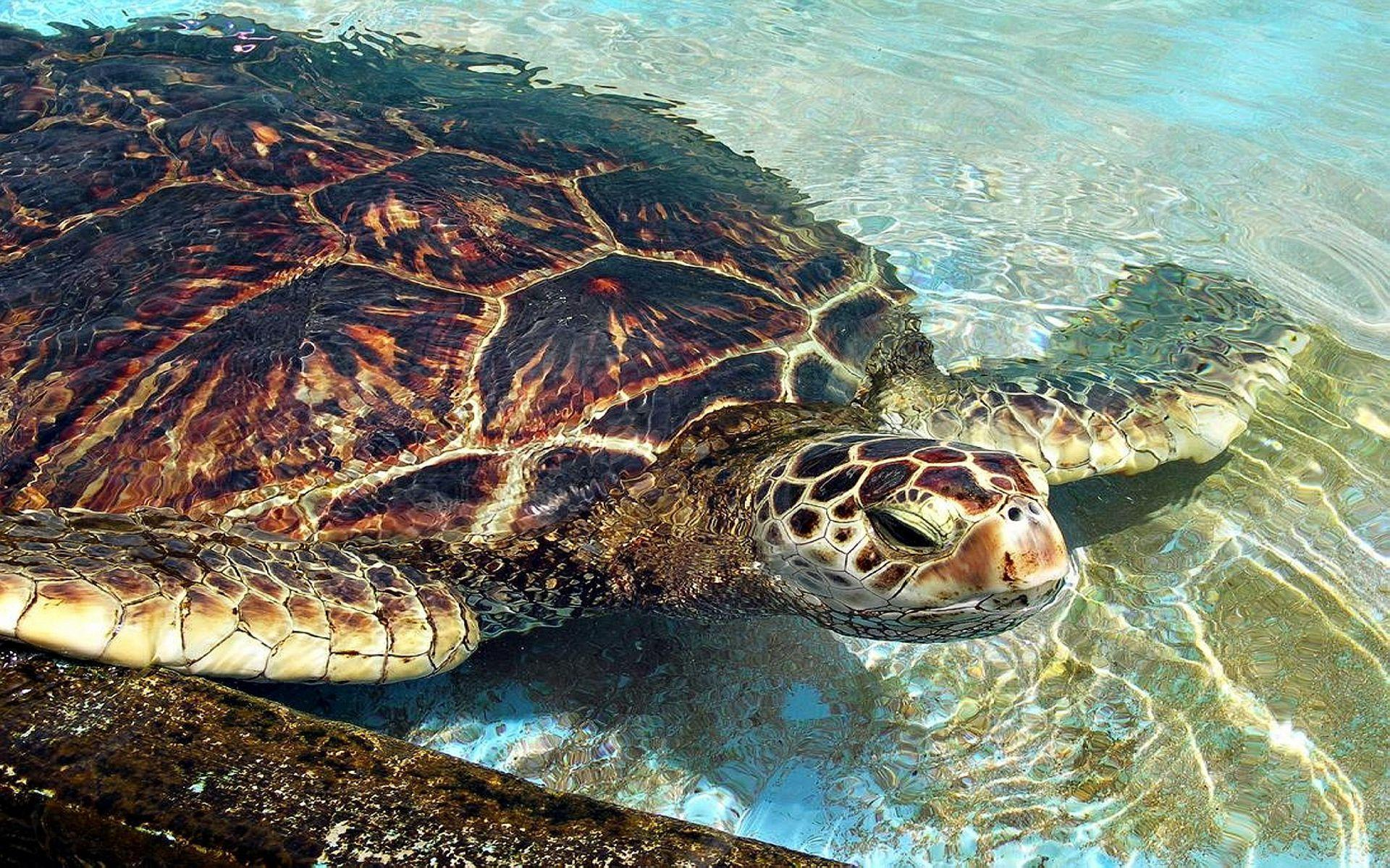 loggerhead-sea-turtle free