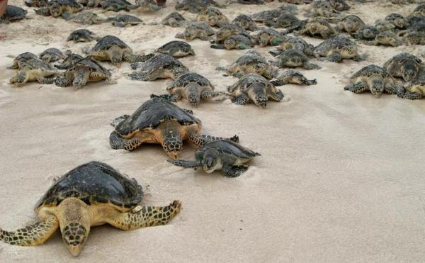 loggerhead-turtles