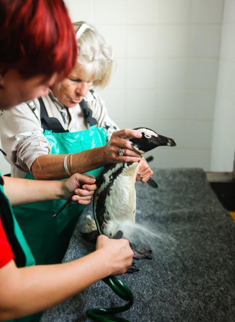 african penguin oil spill