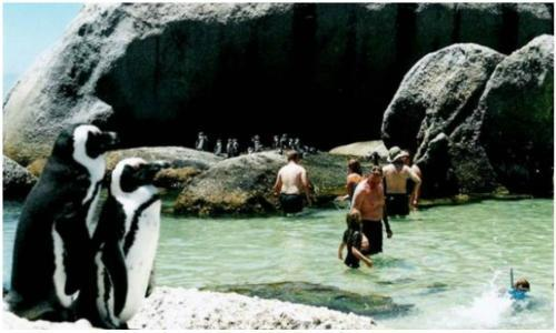Boulders beach penguins 500 x 300