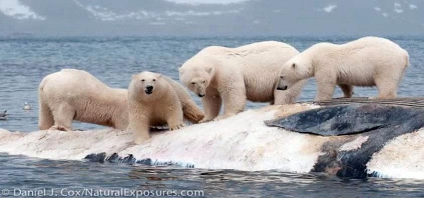 Whale eaten by ice bears
