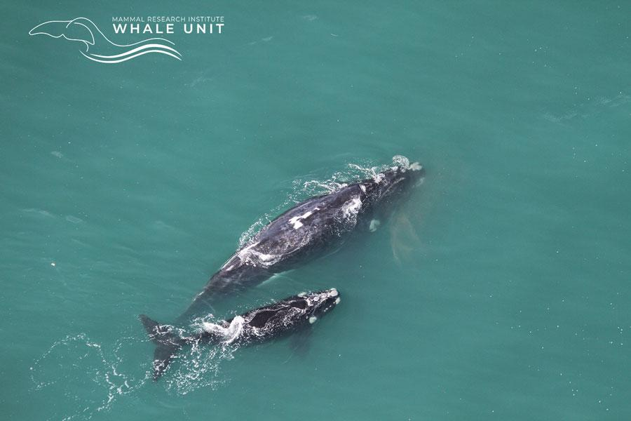 southern whale calf