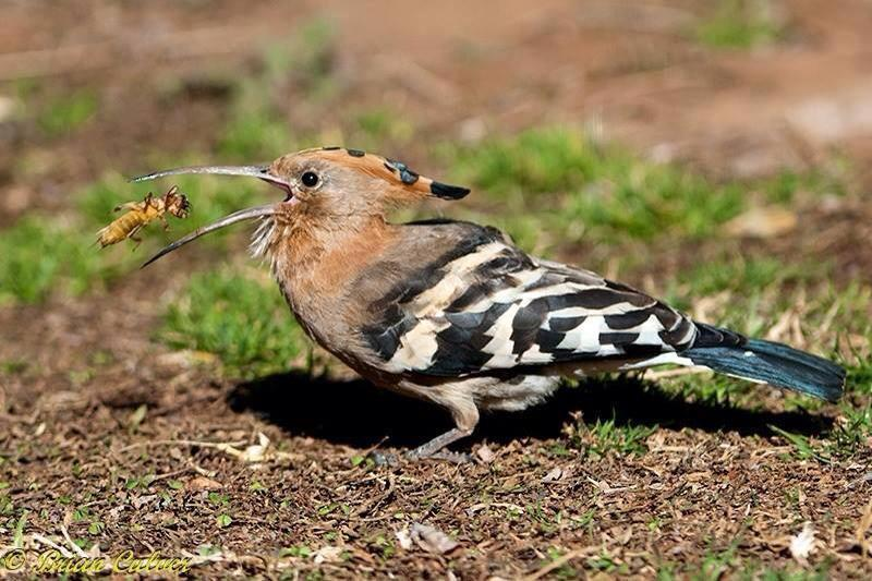 African Hoopoe with Mole Cricket 800 brian