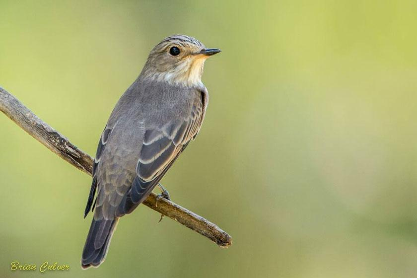 spotted flycatcher brian