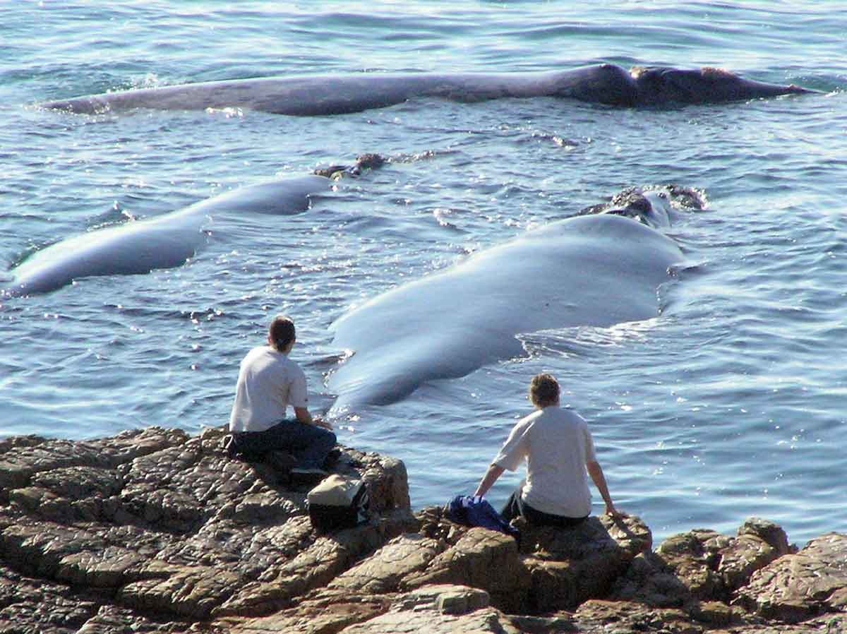 Hermanus Best land based whale watching in the world