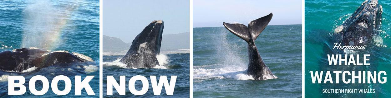 whale watching hermanus booking2
