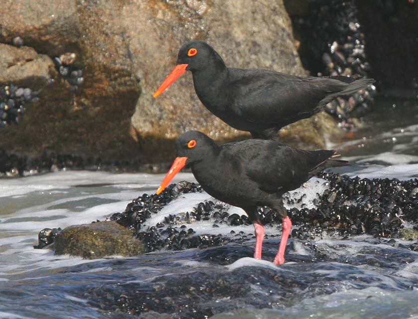 African Black Oystercatchers at Robberg Nature Reserve
