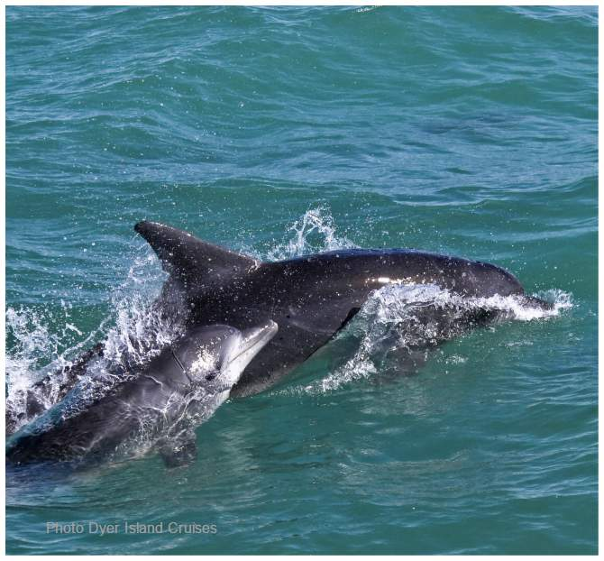 Bottlenose Dolphin mom baby