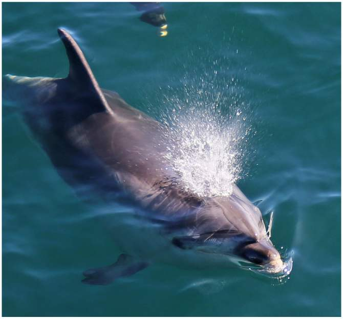 Bottlenose dolphins spouting