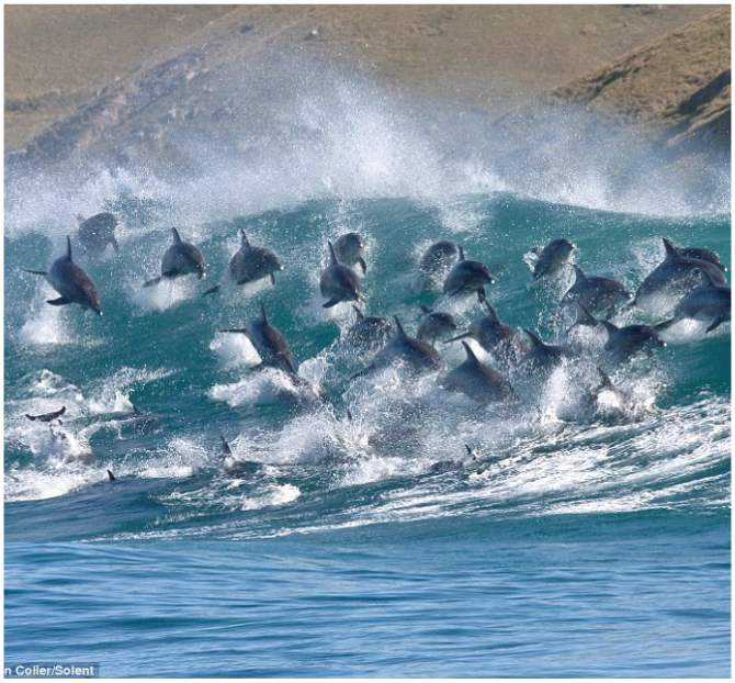 Bottlenose dolphins dive in waves