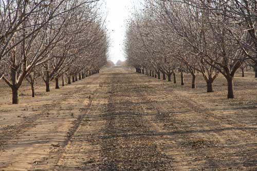 Pecan Grove after harvest