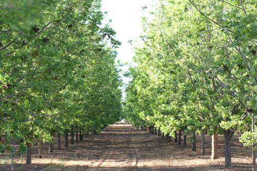 Pecan Grove in summer