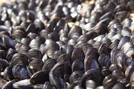 red tide mussels