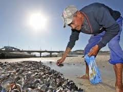 red tide people pick mussels
