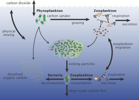 red tide phytoplankton cycle