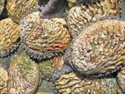 abalone group