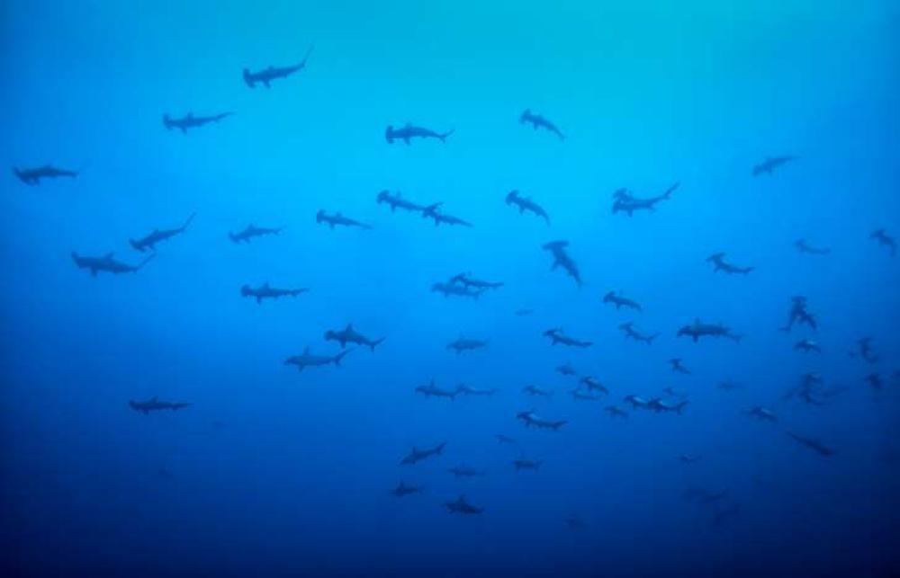 Hammerhead sharks group