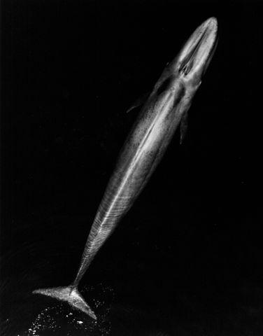 Blue Whale 001 body bw