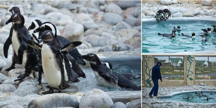 penguin avian rehab