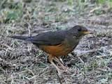 Olive thrush, a Southern African bird