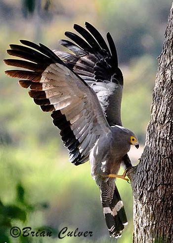 African Harrier-Hawk (Overberg Birds)