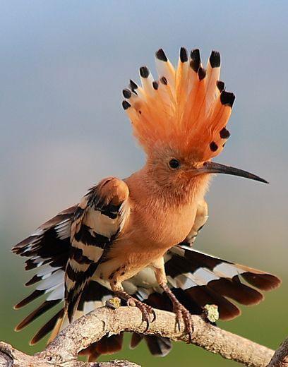 African Hoopoe - (Overberg Birds)