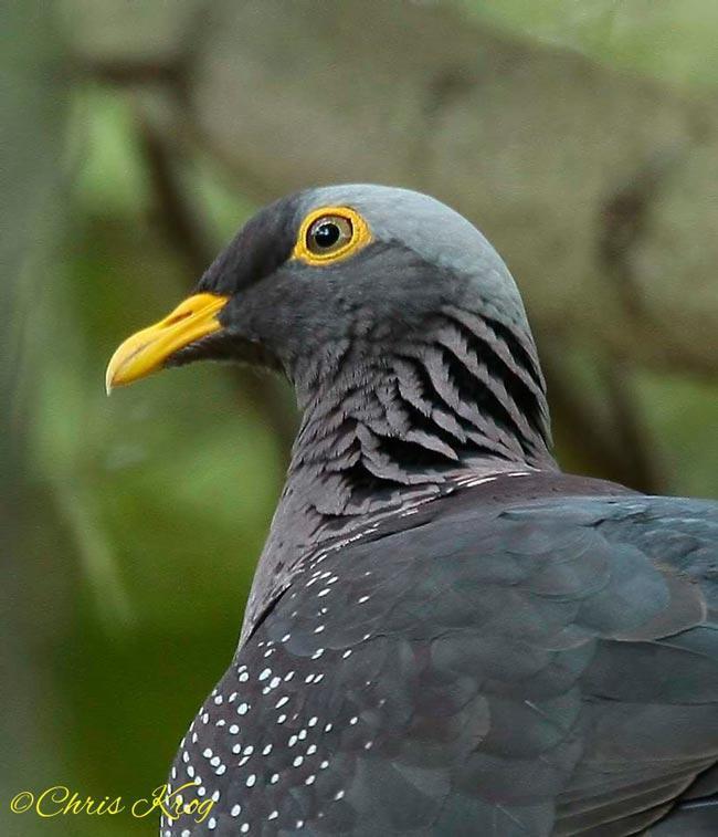 African Olive-pigeon (Geelbekbosduif) in the Overberg