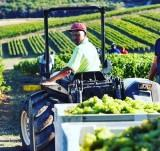 BOUCHARD FINLAYSON 2019 HARVEST – FROM THE VINEYARD TO THE CELLAR