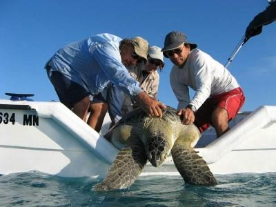 In-water sea turtle research around the Keys in Florida