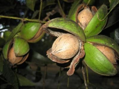 PECANS – A HARD NUT TO CRACK