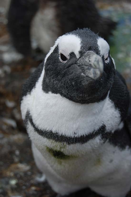 Visit the African Penguins at Stoney Point in Betty's Bay
