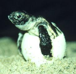 What do we know about Loggerhead turtles?