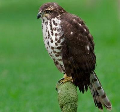African Goshawk, is a Southern African bird that belongs to the Accipitridae bird family