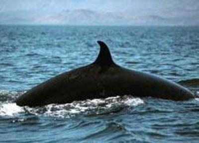 Bryde's Whales