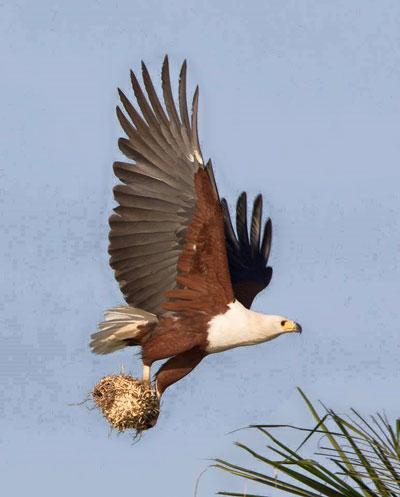 African Fish-Eagle - Visarend
