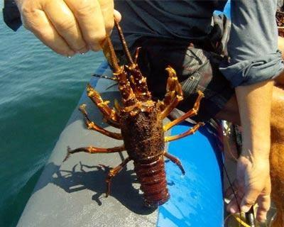 The catching of crayfish and or cape rock lobster for sport and recreation in South Africa - (2017 Dates)
