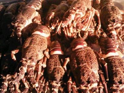Cape crayfish season to start in November 2019/20