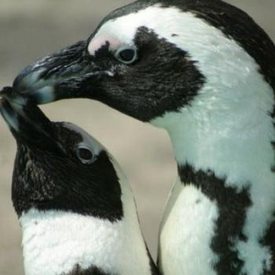 Avian Influenza and African Penguin Update