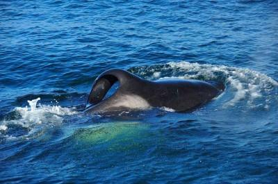 A new group of killer whales has moved to South Africa – and they have an appetite for sharks!