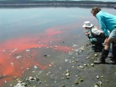 Is the red tide in Hermanus harmful to swimmers?