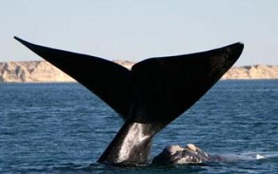 Southern Right Whales 101