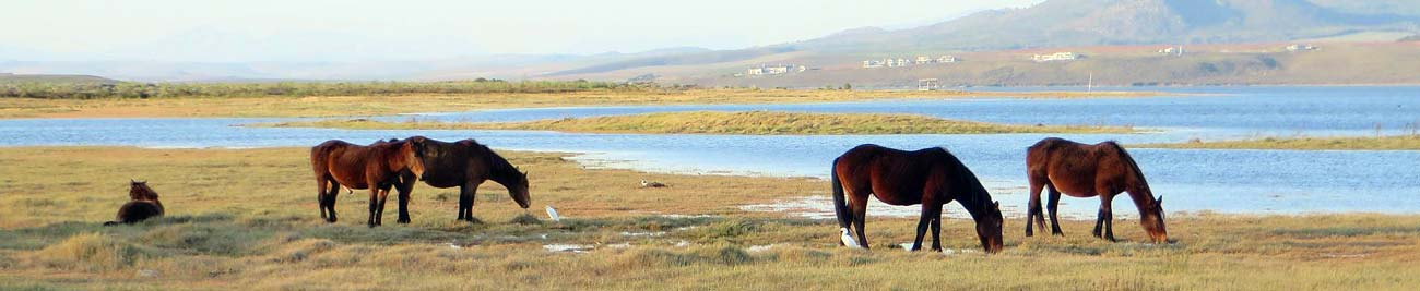 Latest news about the Wild Horses at Rooisand Nature Reserve, near Kleinmond