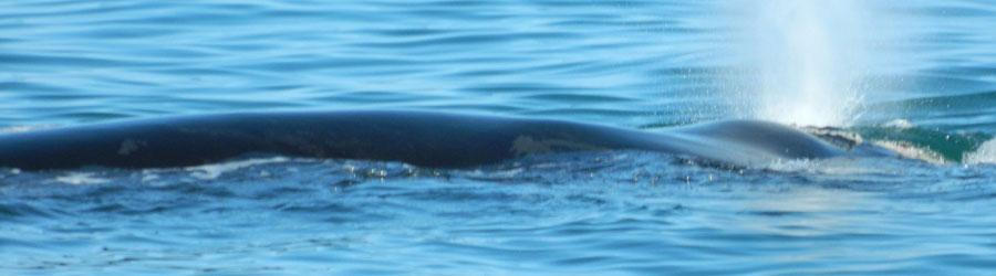 Southern Right Whale Behaviour